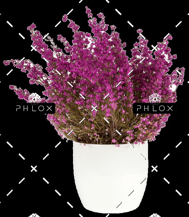 demo-attachment-152-purple-heather-in-the-white-pot-P43SKSJ-e1585206384768